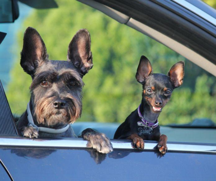 Zwierzęta a samochodzie